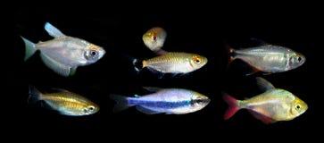 Aquaariumvissen Characidaefamilie Royalty-vrije Stock Afbeelding