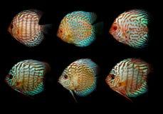 Aquaariumvissen Cichlidaefamilie Stock Foto's