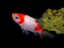 Aquaariumvissen Goudvis Royalty-vrije Stock Fotografie