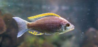 Aquakultur ein seltener Feuerkamm mloto chichlid Fisch, geglaubt, im wilden ausgestorben zu sein stockbild