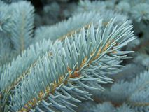 Aquamarine branch of silver spruce royalty free stock photography