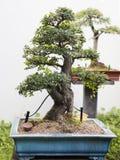 Aquamarine färgade den Bonsai lade in växten Arkivbilder