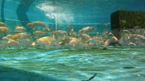 Aquaponic游泳水下的录影的渔场 股票录像