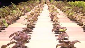 由aquaponics的增长的植物在特别灯下 影视素材