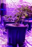Aquaponics a installé avec les phyto lampes qui donnent la lumière rouge étrange Culture de quelques légumes en substrat soilless photographie stock