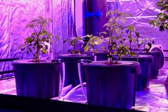 Aquaponics a installé avec les phyto lampes qui donnent la lumière rouge étrange Culture de quelques légumes en substrat soilless photos libres de droits