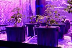 Aquaponics ställde in med phyto lampor som ger konstigt rött ljus Växa för några grönsaker i den soilless substraten, strukturell royaltyfria foton