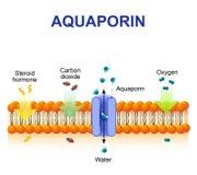Aquaporin é proteínas integrais da membrana Fotografia de Stock Royalty Free