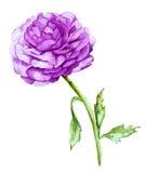 Aquarela com Violet Peony ilustração do vetor