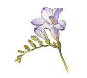 Aquarela da flor da frésia Fotografia de Stock
