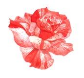 Aquarela de Rosa Imagens de Stock