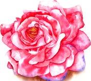 Aquarela de Rosa Fotografia de Stock