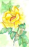 Aquarela de Rosa Fotografia de Stock Royalty Free