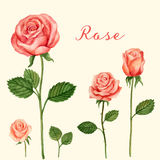 Aquarela de Rosa do vetor Ilustração Royalty Free