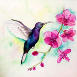 Aquarela do colibri Fotos de Stock