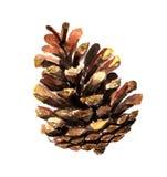 Aquarela do cone de abeto Foto de Stock
