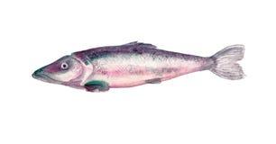Aquarela dos peixes Fotos de Stock Royalty Free