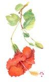 Aquarela, flor, hibiscus Fotografia de Stock Royalty Free