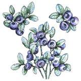Aquarela tirada mão ajustada com uvas-do-monte Baga da floresta Ilustração do vetor do alimento de Eco Imagem de Stock