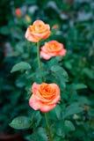 Aquarell är en överdådig ros av Tantau med en bestämt stor blomma arkivfoton