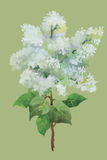 Aquarell blüht in der klassischen Art auf einem weißen Hintergrund Stockfoto