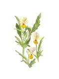 Aquarell Blume wilder Pansies auf weißem Hintergrund Stockfotos