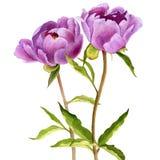 Aquarell, das rosa Pfingstrosenblumen zeichnet lizenzfreies stockfoto