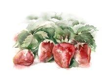 Aquarell-Erdbeeren Stockfoto