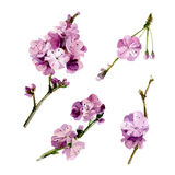 Aquarell-gesetzte Kirschblüte-Blumen Lizenzfreies Stockfoto