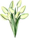 Aquarell-Hand gezeichneter weißer Tulpen-Blumenstrauß Stockfoto