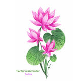 Aquarell-Illustrations-Rosa Lotus Vektor Ausführliche vektorzeichnung Stockfoto