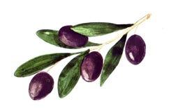 Aquarell-Olive, malend lokalisiert auf weißem Hintergrund lizenzfreie abbildung