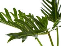 Aquarell tropisches Philodendron xanadu Blatt lizenzfreie stockbilder