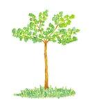 Aquarell-Ulmen-Baum, Hand gezeichnet und gemalt Lizenzfreies Stockbild