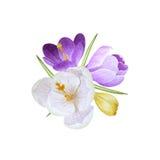 Aquarellblumenstrauß von Krokussen Lizenzfreies Stockfoto