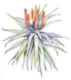 Aquarelle avec l'aloès Image stock