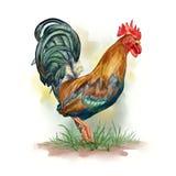 Aquarelle de coq, domesticus de gallus de Gallus illustration de vecteur