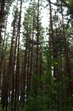Aquarelle de dessin Forêt, branches d'arbre et ciel photographie stock libre de droits