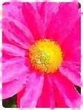 Aquarelle de Digital d'une fleur rose de pollen de marguerite Image stock
