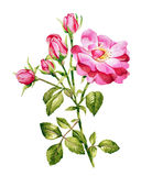Aquarelle rose de roses Photos libres de droits
