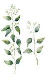 Aquarelleukalyptusblätter und -niederlassungen mit Blumen Handgemalter blühender Eukalyptus Blumenillustration lokalisiert auf we Stockfotografie