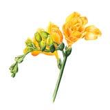 Aquarellfreesieblumen auf weißem Hintergrund vektor abbildung