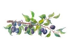Aquarellfrucht-Pflaumenniederlassung lokalisiert auf weißem Hintergrund Herbst Hand gezeichnete Malerei Lizenzfreie Stockfotografie