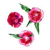 Aquarellgartennelke Wildflower lokalisiert auf weißem Hintergrund, Hand gezeichnete Blumenillustration Lizenzfreie Stockfotos