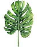 Aquarellillustration boho tropischen monstera verlässt auf weißem Hintergrund lizenzfreie abbildung