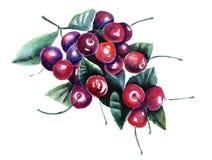 Aquarellillustration einer Niederlassung mit Beeren stockfoto
