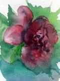 Aquarellkunsthintergrundzusammenfassungsfrühling purpurrote rosa grüne dalicate Licht-Blumenrose einzeln Lizenzfreie Stockfotos