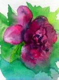 Aquarellkunsthintergrundzusammenfassungsfrühling violette rosa grüne dalicate Licht-Blumenrose einzeln Stockbild