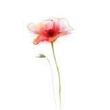 Aquarellmalerei-Mohnblumenblume Lokalisierte Blumen auf Weißbuchhintergrund lizenzfreie abbildung