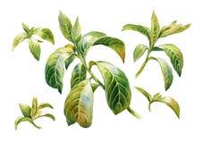 Aquarellmalerei von Blättern auf weißem Hintergrund Stock Abbildung